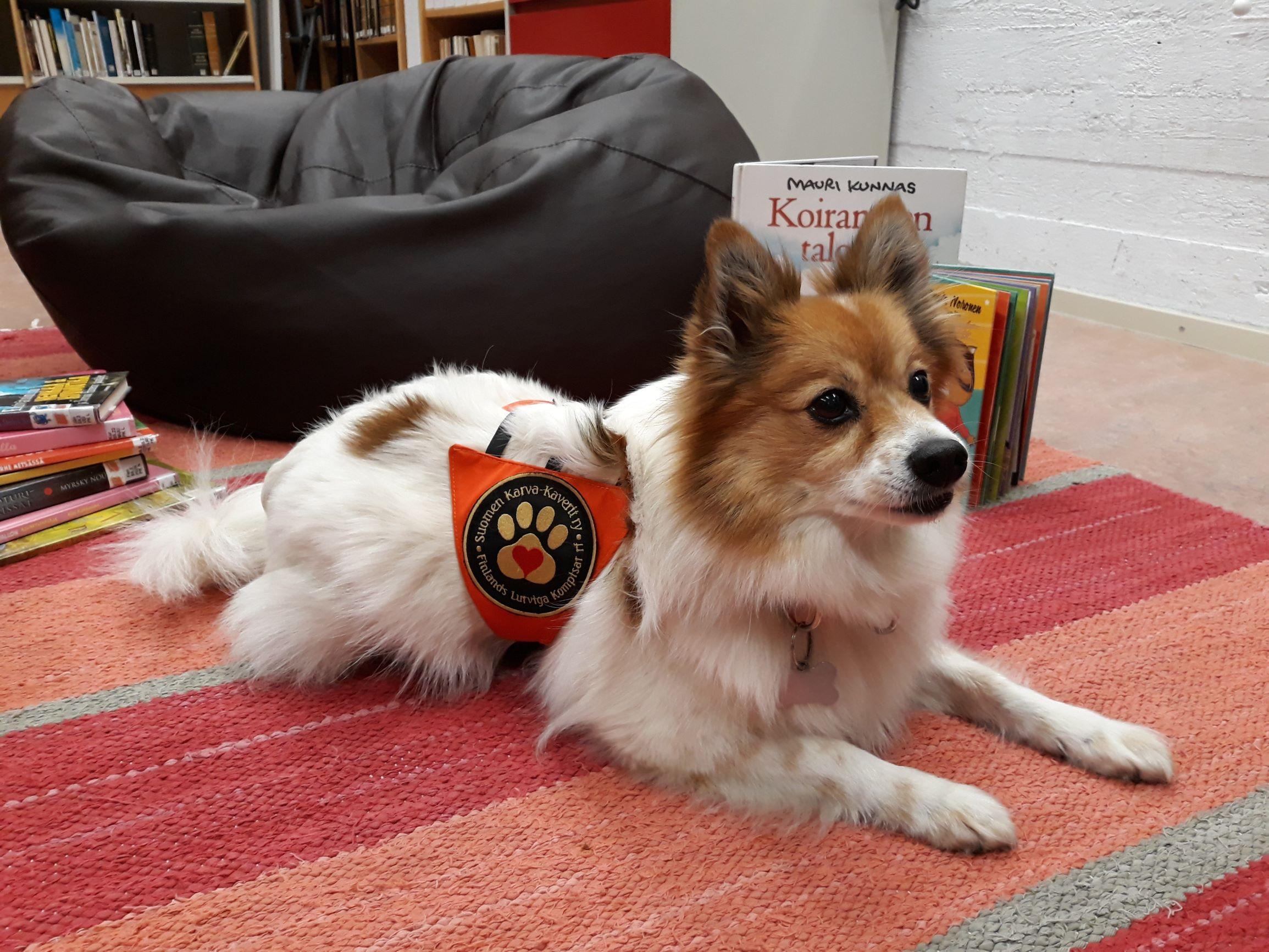 Pieni valkoruskea koira makaa räsymatolla. Koiralla on yllään Suomen Karva-kaveri ry:n liivi.