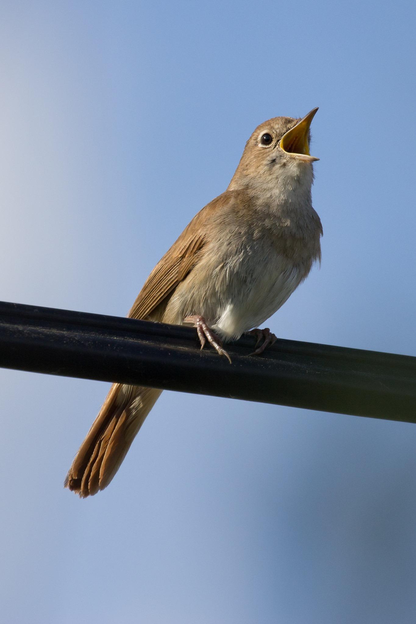 satakieli laulaa orrella